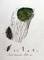 Neckera heteromalla — Flora Batava — Volume v9.jpg