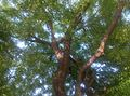 Neem tree under shade at evening.jpg