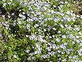 Nemophila maculata2.jpg