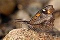 Nettle Tree Butterfly (Libythea celtis), Nera River Gorges, Banat Mountains, SW Romania (34577591233).jpg