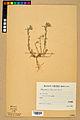 Neuchâtel Herbarium - Alyssum alyssoides - NEU000021918.jpg