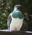 New Zealand pigeon (31678062485).jpg