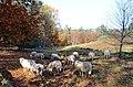 Nice sheep at Park Warnsborn heather in autumn - panoramio.jpg