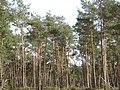 Nice trees at the woods - panoramio.jpg