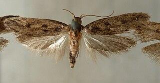 <i>Niditinea fuscella</i> Species of moth