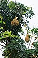 Nids de tisserins au nord de São Tomé (2).jpg