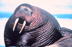 The Pacific Walrus