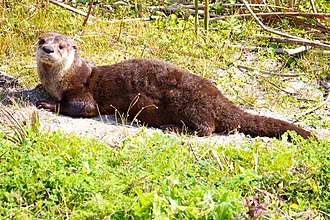 North American river otter - A North American river otter at Pelican Island National Wildlife Refuge, Florida