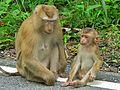 Northern Pig-tailed Macaques (Macaca leonina) (7857734368).jpg