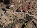 Northern whiskerbrush, Leptosiphon septentrionalis (47527953731).jpg