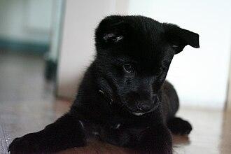 Black Norwegian Elkhound - Black Norwegian Elkhound puppy