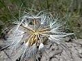 Nothocalais cuspidata (27558399986).jpg