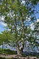 Nova Kahovka Centennial Sycamores 04 (YDS 0280).jpg