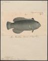 Novacula altipinnis - 1835 - Print - Iconographia Zoologica - Special Collections University of Amsterdam - UBA01 IZ13900098.tif