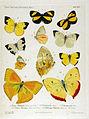 NovaraExpZoologischeTheilLepidopteraAtlasTaf26.jpg