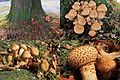 Now the 4th year that these groups of Pholiota squarrosa grow on the roots of this giant American oak at The Bakenbergseweg Arnhem - panoramio.jpg