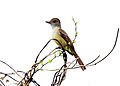 Nuttings Flycatcher (Myiarchus nuttingi) (5783240473).jpg