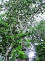 Ocotea bullata - Black Stinkwood tree - Newlands Forest - Cape Town 2.jpg