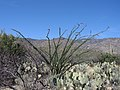Ocotillo in bloom, Saguaro NP (RMD) (0f63a77c-3a69-4938-b49e-8ee62247be28).jpg
