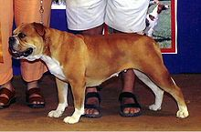 Olde English Bulldogge Crop.jpg