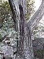 Olea capensis04.jpg