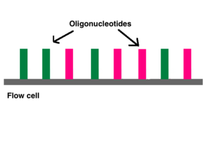 Illumina dye sequencing - Millions of oligos line the bottom of each flow cell lane.
