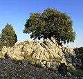Olive tree (2) - panoramio.jpg