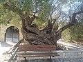 Olive tree in Kastos.jpg