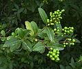 Olivereta amb fruit verds.JPG