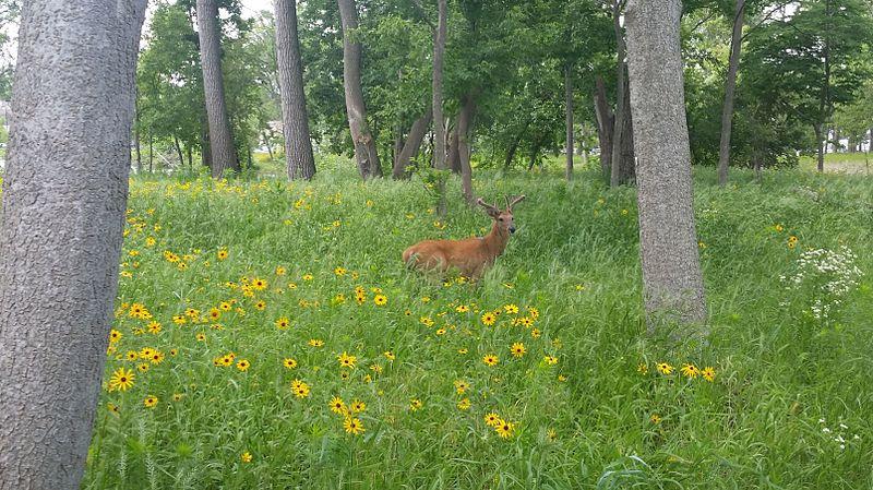Open Woodland in Illinois United States.jpg