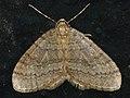 Operophtera brumata ♂ - Winter moth (male) - Пяденица зимняя (самец) (40063274965).jpg