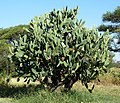 Opuntia ficus-indica, Springbokvlakte.jpg