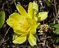 Opuntia sp (38359439744).jpg