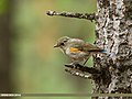 Orange-flanked Bush Robin (Tarsiger cyanurus) (31177838635).jpg