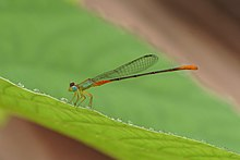 Orange-tailed marsh dart 08030.jpg