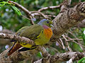 Orange breasted green Pigeon.jpg