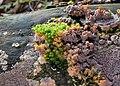 Orangeroter Kammpilz-Phlebia radiata.jpg