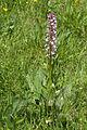 Orchis.militaris.x.Orchis.purpurea.8223.jpg