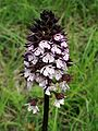 Orchis purpurea Saarland 02.jpg