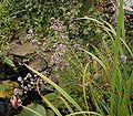 Origanum vulgare 09 ies.jpg