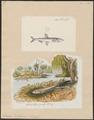 Osmerus eperlanus - 1700-1880 - Print - Iconographia Zoologica - Special Collections University of Amsterdam - UBA01 IZ14800059.tif