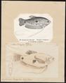 Osphromenus trichopterus - 1700-1880 - Print - Iconographia Zoologica - Special Collections University of Amsterdam - UBA01 IZ13800019.tif
