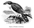 Osprey-Pandion haliaetus-rybołów.png