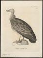 Otogyps nubicus - 1700-1880 - Print - Iconographia Zoologica - Special Collections University of Amsterdam - UBA01 IZ18100055.tif