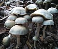 Ovoids - fruiting up-cluse.jpg