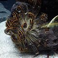 Oxycomanthus japonicus 1.jpg