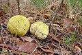 Późna jesień .Ostatnie grzyby. Dojrzałe tęgoskóry pospolite. - panoramio.jpg
