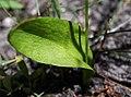 PNBT Ophioglossum vulgatum liść 03.07.10 p.jpg