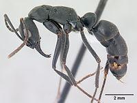 Pachycondyla verenae casent0178684 profile 1.jpg