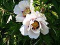 Paeonia 2 (Poltava Botanical garden).jpg